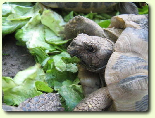 Alimentation des tortues
