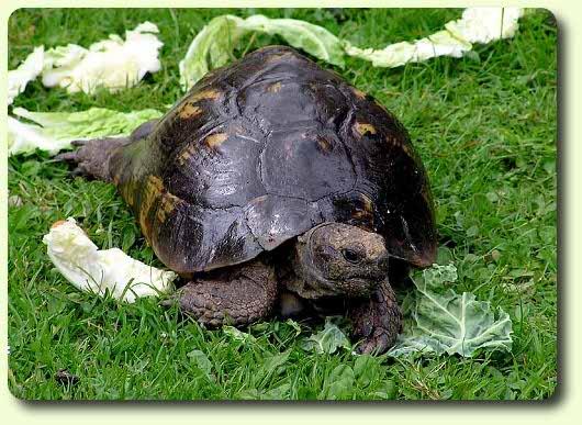 Les diff rentes esp ces les tortues terrestres - Differentes especes de pins ...