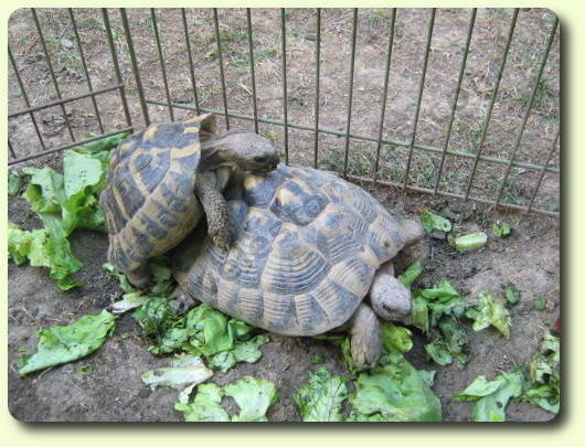 La reproduction des tortues
